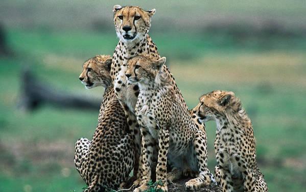 Kenya Art Print featuring the photograph Cheetahs Acinonyx Jubatus., Masai Mara by Mark Newman