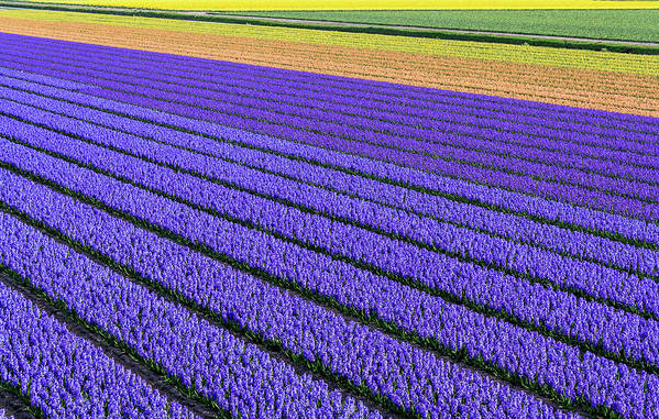 Tranquility Art Print featuring the photograph Flower Fields In Spring In Holland by Frans Sellies