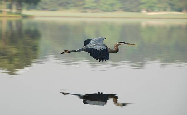 Animal Themes Art Print featuring the photograph Great Blue Heron In Flight by Photo By Hannu & Hannele, Kingwood, Tx