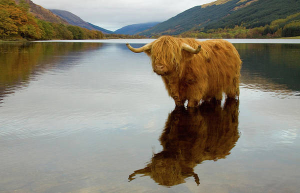 Horned Art Print featuring the photograph Highland Cow by Empato