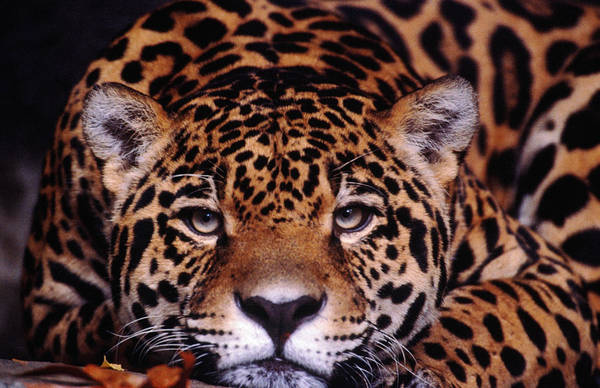 Latin America Art Print featuring the photograph Portrait Of Jaguar, Brazil by Mark Newman