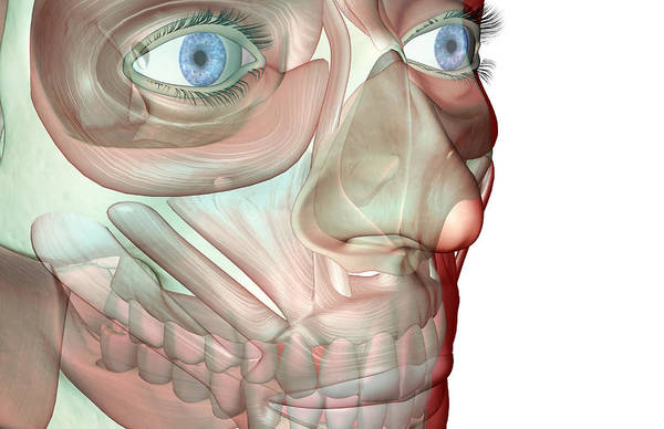 White Background Art Print featuring the digital art The Musculoskeleton Of The Face by Medicalrf.com