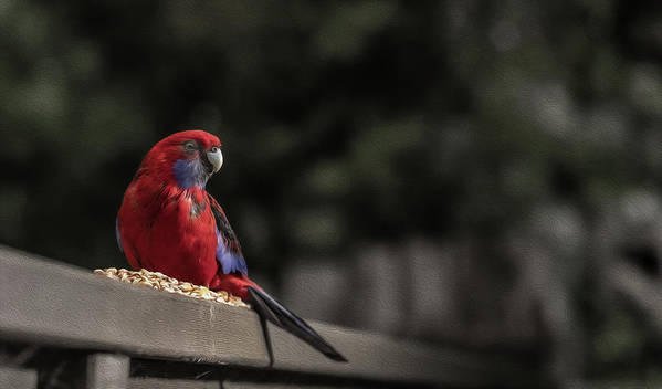 Rosella Art Print featuring the photograph Rosella 1 by Leigh Henningham