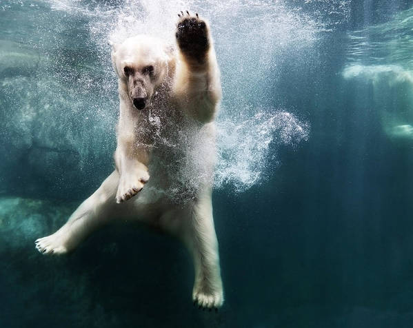 Diving Into Water Art Print featuring the photograph Polarbear In Water by Henrik Sorensen