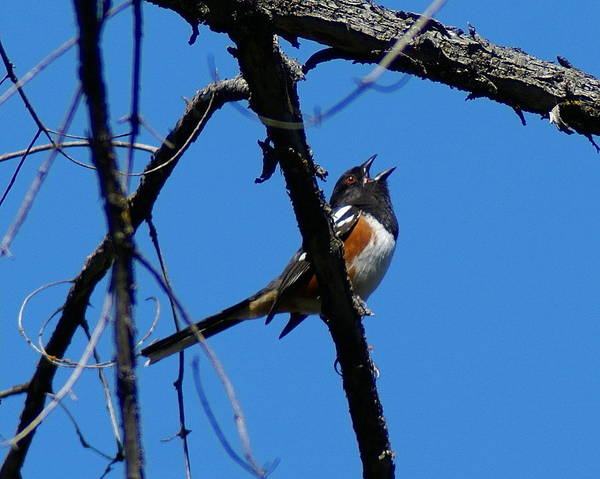 Birds Art Print featuring the photograph A Spotted Towhee mid-Song by Ben Upham III