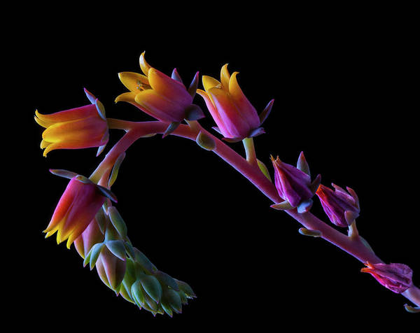 California Art Print featuring the photograph Succulent Flowers On A Stalk by Bill Gracey