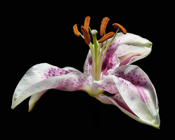 Lilly Art Print featuring the photograph The Lilly by Len Romanick