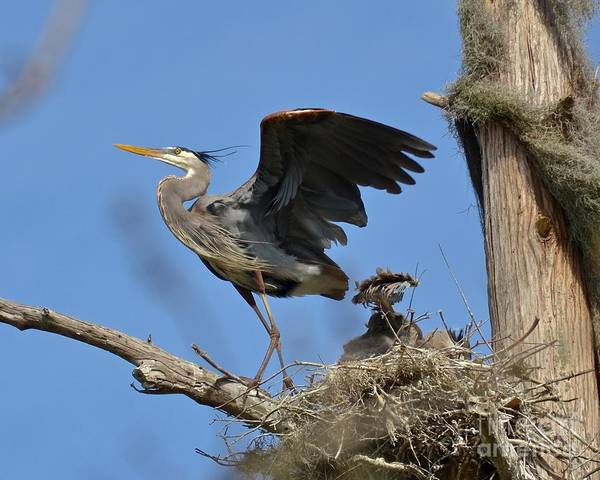 Heron Art Print featuring the photograph The Protector by Carol Bradley