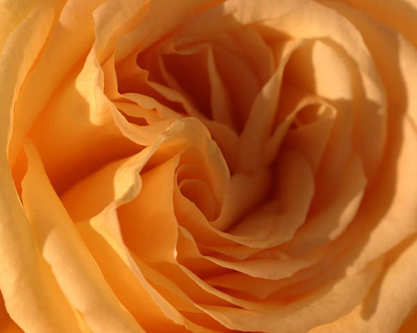 Yellow Art Print featuring the photograph Double Yellow Rose by Katherine Morgan