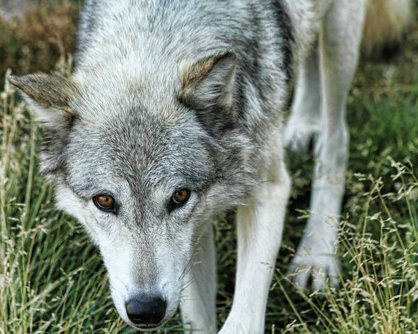 Wolf Art Print featuring the photograph Ominous Stare by Gene Praag