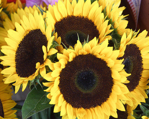 Flowers Art Print featuring the photograph Sunflowers by Tom Romeo