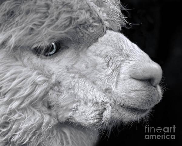 Alpaca Art Print featuring the photograph Alpaca by Linsey Williams