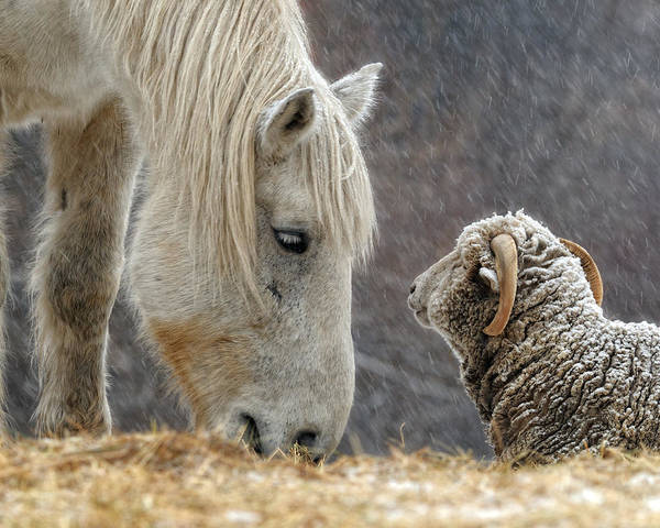 Horse Art Print featuring the photograph Clouseau and Friend by Don Schroder