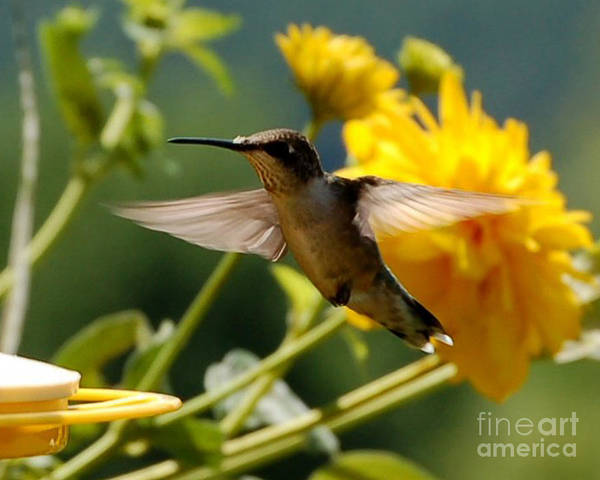 Diane Berry Art Print featuring the photograph Hummer by Diane E Berry