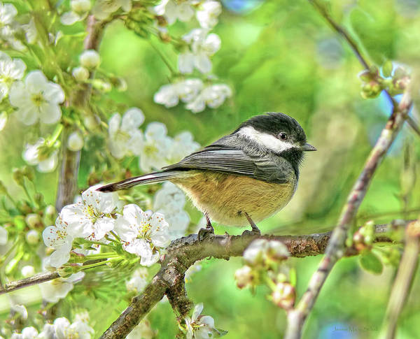 Chickadee Art Print featuring the photograph My Little Chickadee In The Cherry Tree by Jennie Marie Schell