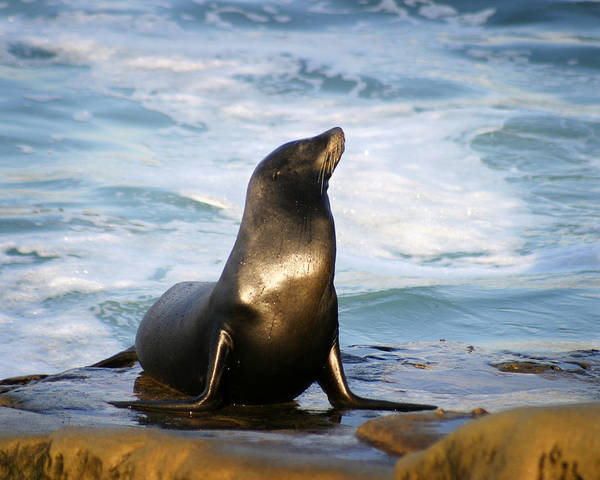 Sealion Art Print featuring the photograph Sealion by Anthony Jones