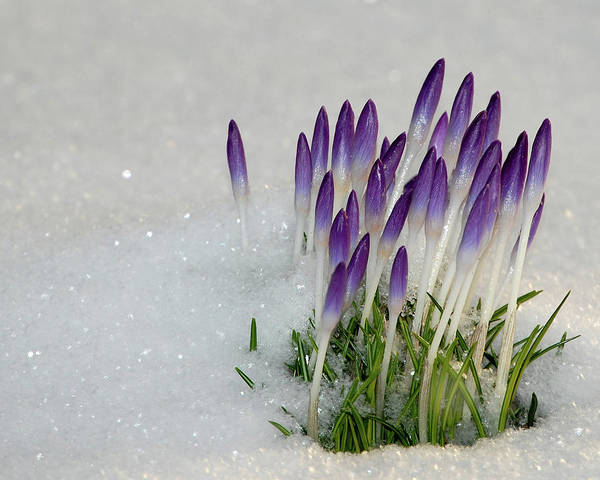 Spring Art Print featuring the photograph Spring Snow by Lisa Kane