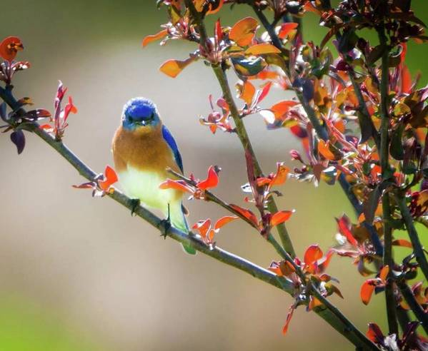 Eastern Male Bluebird Art Print featuring the photograph The Bluebird by Heather Hubbard