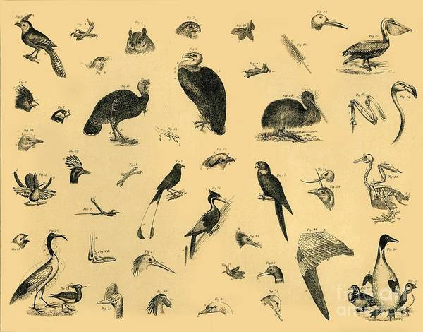 Engraving Art Print featuring the drawing Birds by Print Collector
