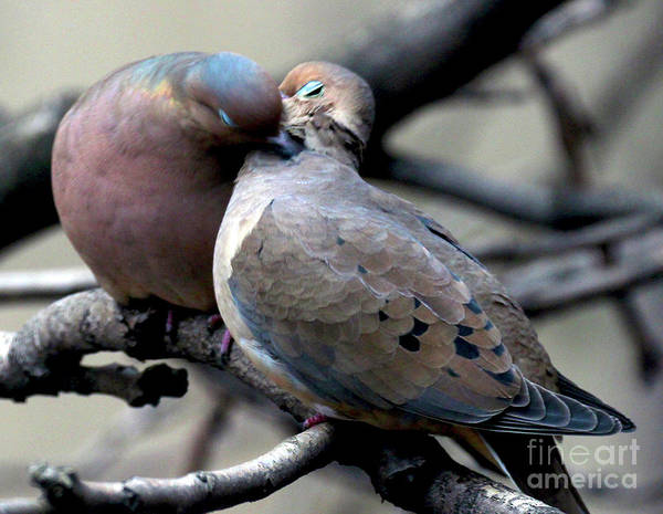 Female Mourning Dove Art Print featuring the photograph Cooing Mourning Doves 2 by Patricia Youngquist