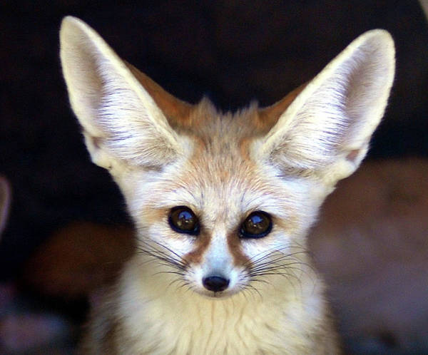 Alertness Art Print featuring the photograph Fennec Fox by Floridapfe From S.korea Kim In Cherl