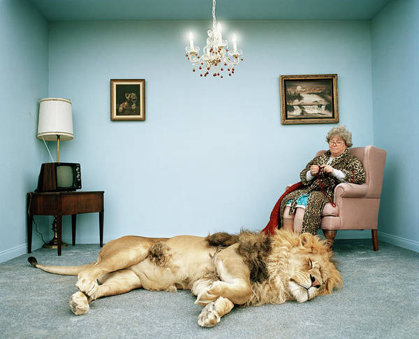 Pets Art Print featuring the photograph Lion Lying On Rug, Mature Woman Knitting by Matthias Clamer