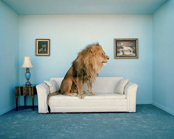 Pets Art Print featuring the photograph Lion Sitting On Couch, Side View by Matthias Clamer