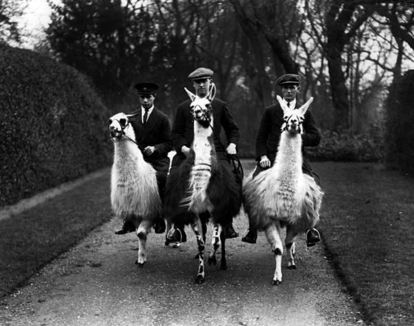 Animal Themes Art Print featuring the photograph Llama Ride by Fox Photos