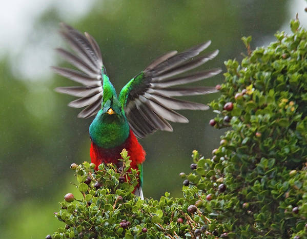 Animal Themes Art Print featuring the photograph Quetzal Taking Flight by Photograph Taken By Nicholas James Mccollum