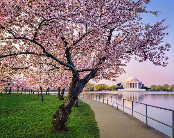 Tidal Basin Art Print featuring the photograph Washington Dc Cherry Trees, Footpath by Dszc