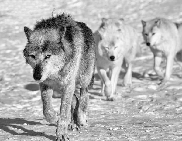 Wolf 4593 Art Print featuring the photograph Wolf B&w 4593 by Gordon Semmens