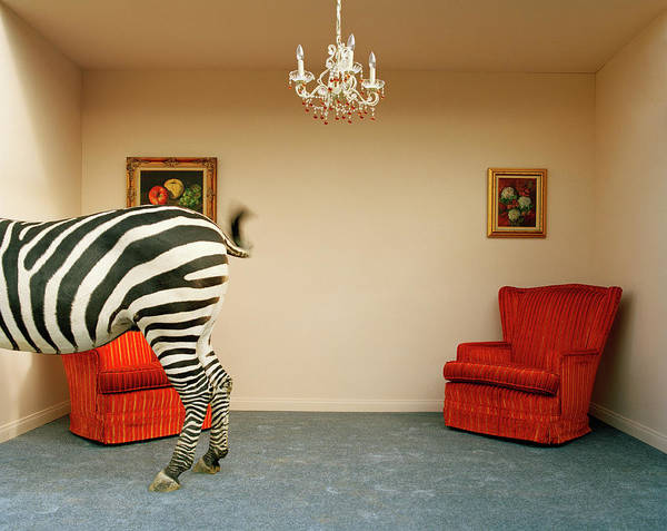 Out Of Context Art Print featuring the photograph Zebra In Living Room Swishing Tail by Matthias Clamer