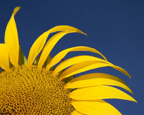 3scape Art Print featuring the photograph Sunflower by Adam Romanowicz