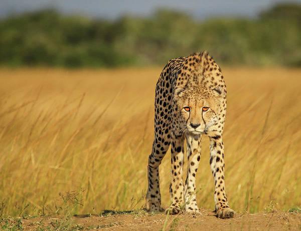 Cheetah Art Print featuring the photograph A Walk To Kill by Jaco Marx