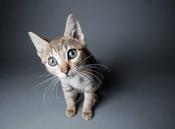 Pets Art Print featuring the photograph Big-eyed Tabby Kitten - The Amanda by Amandafoundation.org