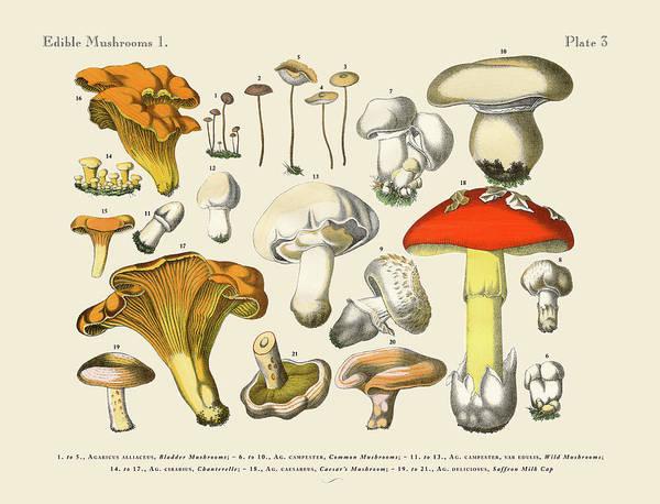 White Background Art Print featuring the digital art Edible Mushrooms, Victorian Botanical by Bauhaus1000