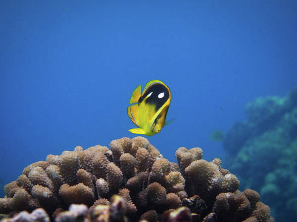 Underwater Art Print featuring the photograph Four Spot Butterfly by Taiki Sakai