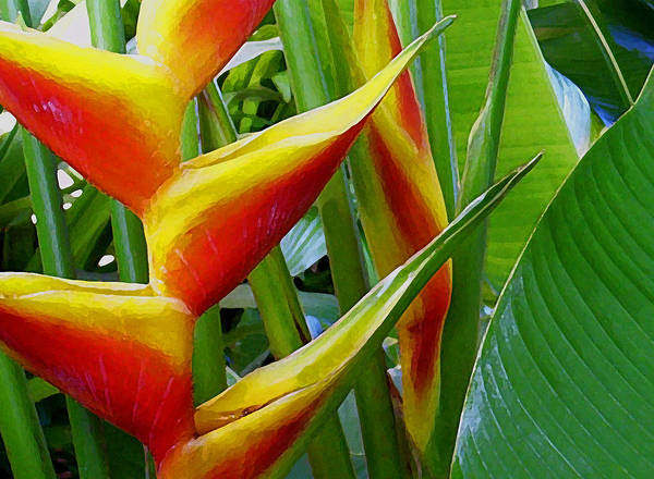 Heliconia Art Print featuring the photograph Heliconia Bihai Kamehameha by James Temple