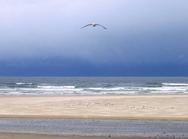 Incoming Seagull Art Print featuring the photograph Incoming Seagull by Will Borden