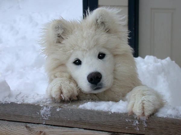 Samoyed Art Print featuring the photograph Loving The Snow by Shane Bechler