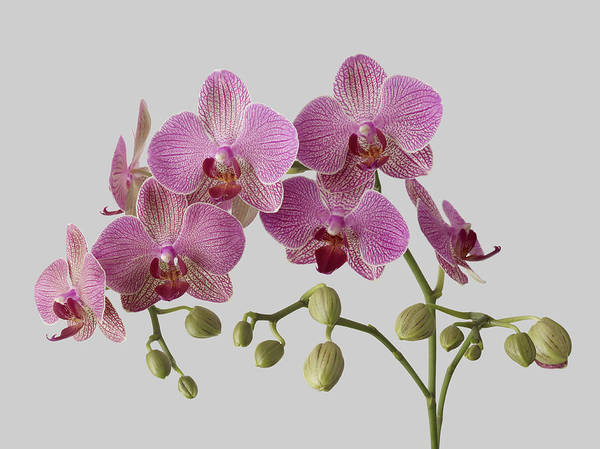 Plant Stem Art Print featuring the photograph Orchid Plant On Grey Background by William Turner