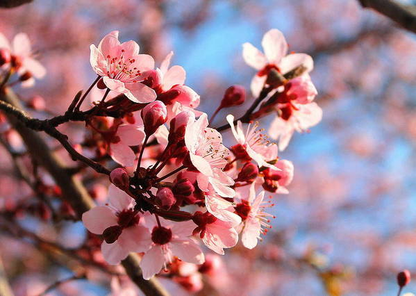 Cherry Blossom Art Print featuring the photograph Pink Cherry Heaven by Candice Trimble