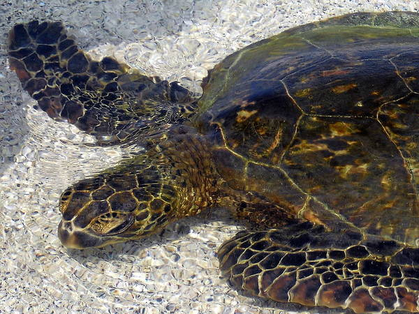 Turtle Art Print featuring the photograph Sea Life by Athala Bruckner