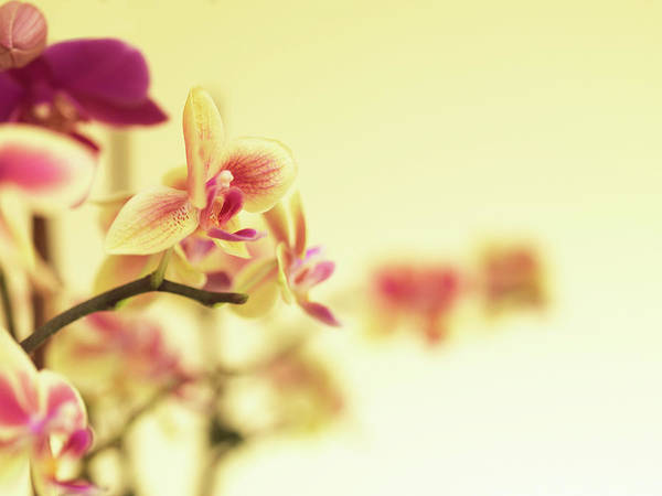 Purple Art Print featuring the photograph Stem Of Orchids by Jlph