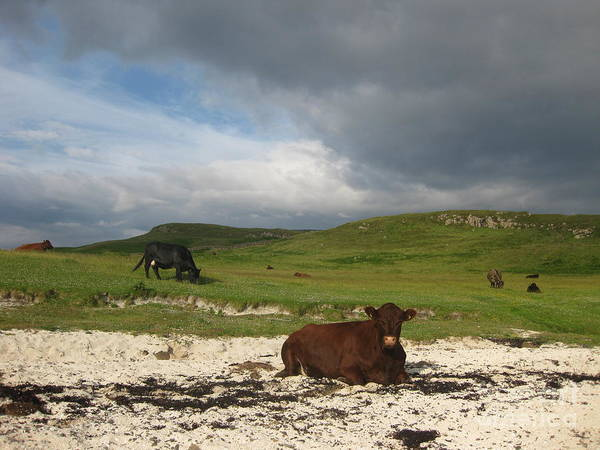 Cow Art Print featuring the photograph Sunbathing in Scotland by AC Hamilton
