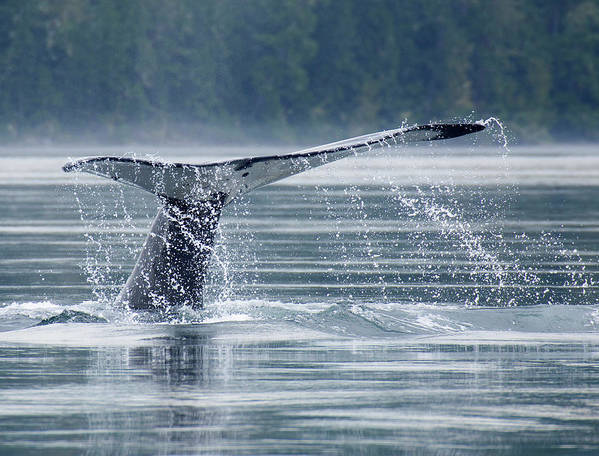 One Animal Art Print featuring the photograph Tail Of Humpback Whale by Grant Faint