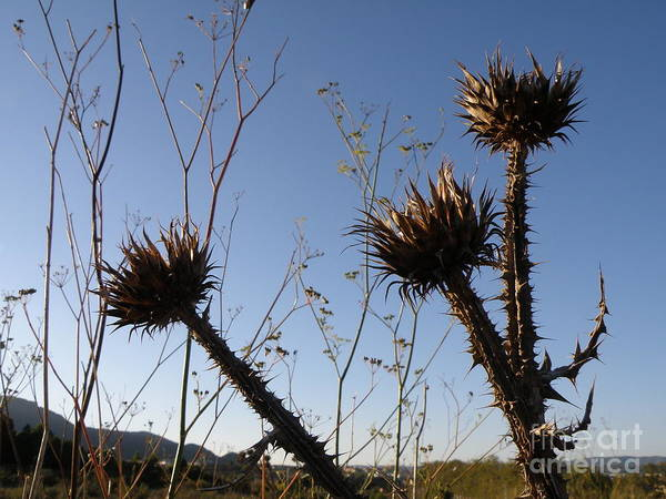 Thistle Art Print featuring the photograph Tres Punxes by Amparo Gallego Mateo