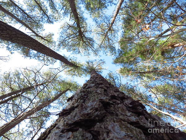 Trees Art Print featuring the photograph Looking up by Rrrose Pix
