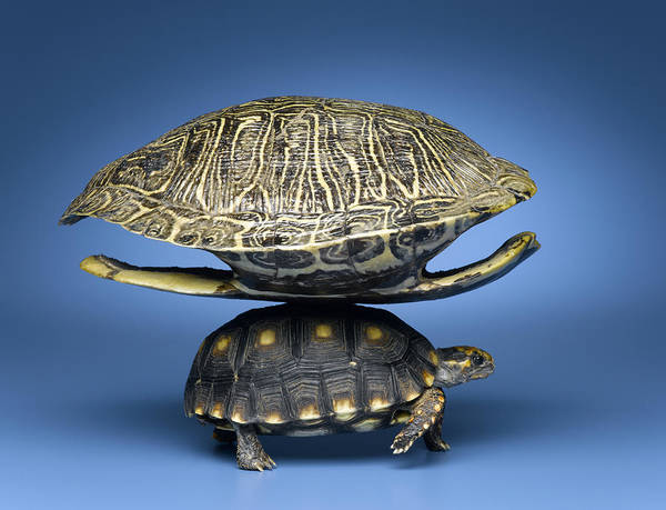 Horizontal Art Print featuring the photograph Turtle With Larger Shell On Back by Jeffrey Hamilton