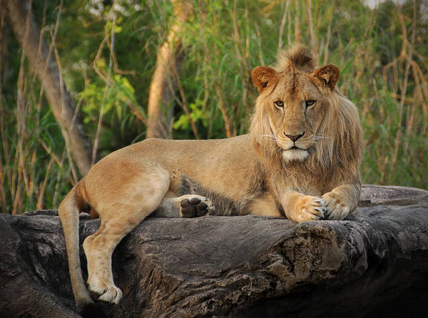 Lion Art Print featuring the photograph Classic Young Male by Steven Sparks